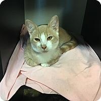 Domestic Shorthair Kitten for adoption in Westminster, California - Emerald