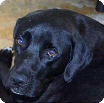 Labrador Retriever/Great Dane Mix Dog for adoption in Joliet, Illinois - Trish