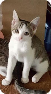 Domestic Mediumhair Kitten for adoption in Vacaville, California - Mia
