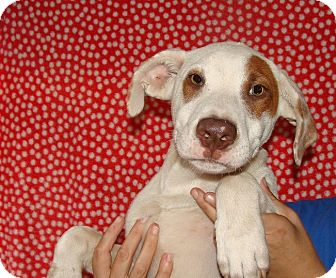 Mastiff/American Bulldog Mix Puppy for adoption in Oviedo, Florida - King