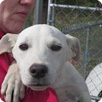 Adopt A Pet :: Ivory - Wilkes Barre, PA