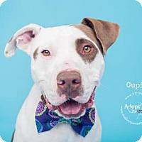 Adopt A Pet :: Cupid - Visalia, CA