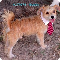 Cairn Terrier Mix Dog for adoption in Conroe, Texas - BUDDY
