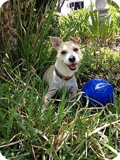 Jack Russell Terrier/Terrier (Unknown Type, Small) Mix Dog for adoption in Lake Forest, California - Olive