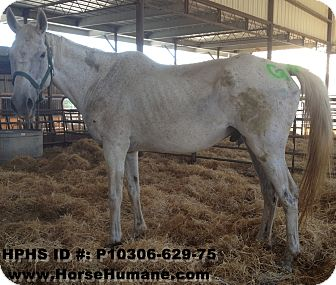 Quarterhorse Mix for adoption in Newcastle, California - Tucker