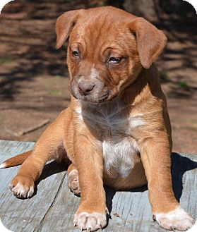 Blue Heeler/Boxer Mix Puppy for adoption in Washington, D.C. - Carrie