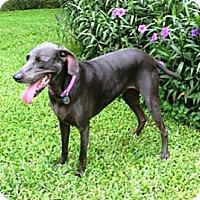 Adopt A Pet :: Tess - Sarasota, FL