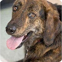 Adopt A Pet :: Boaz - Portland, OR