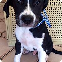 Adopt A Pet :: BAXTER - Irvine, CA