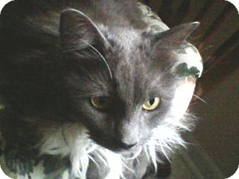 Domestic Mediumhair Cat for adoption in Harrisonburg, Virginia - Lucy