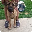 Adopt A Pet :: Mastiff Mix Puppy