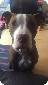Pit Bull Terrier/Boxer Mix Dog for adoption in Valley Stream, New York - Tucker