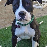Adopt A Pet :: Tuesday (female) - Los Angeles, CA