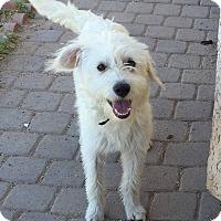 Adopt A Pet :: Doodle - Phoenix, AZ