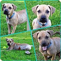 Adopt A Pet :: Deku - Little Rock, AR