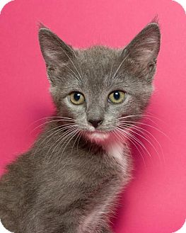 Domestic Shorthair Kitten for adoption in Jersey City, New Jersey - Leia