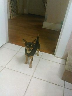 Chihuahua Mix Dog for adoption in Bedford, Texas - Ray