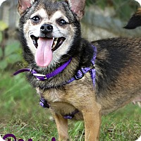Chihuahua Dog for adoption in Roanoke, Virginia - Roxy Roo