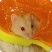 Hamster for adoption in St. Paul, Minnesota - Fireball