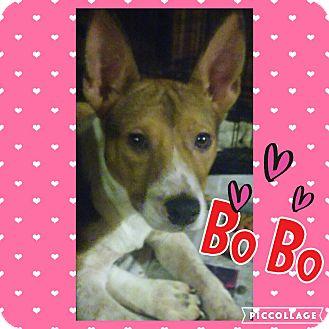 Labrador Retriever/Pointer Mix Puppy for adoption in Cranston, Rhode Island - Bo Bo