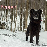 Adopt A Pet :: Pepper - Beautiful Soul! - Huntsville, ON