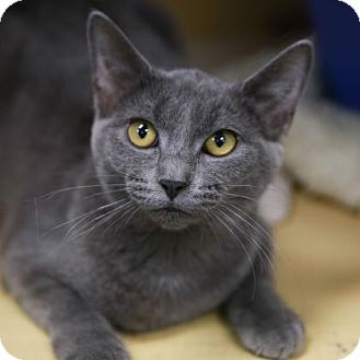 Domestic Shorthair Kitten for adoption in Kettering, Ohio - Silkie