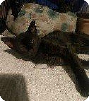 Domestic Shorthair Kitten for adoption in Hampton, Virginia - LEELUU