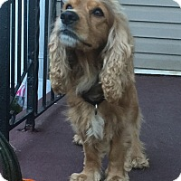 Cocker Spaniel Mix Dog for adoption in Staten Island, New York - Curly