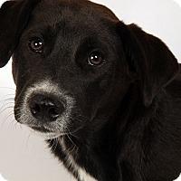 Adopt A Pet :: Larry Lab - St. Louis, MO