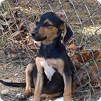 Adopt A Pet :: Herschel - West Springfield, MA