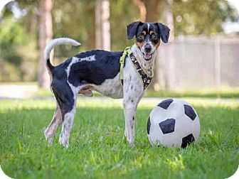 Beagle/Rat Terrier Mix Dog for adoption in Vero Beach, Florida - BUSTER