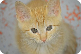 Domestic Shorthair Kitten for adoption in San Leon, Texas - Colby