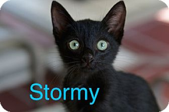 Domestic Shorthair Kitten for adoption in Satellite Beach, Florida - Stormy