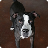 Pit Bull Terrier Mix Dog for adoption in San Antonio, Texas - Ollie