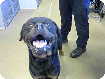 Rottweiler Dog for adoption in Tracy, California - Stewart