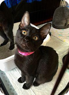 Domestic Shorthair Kitten for adoption in Smithtown, New York - Yodette