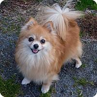 Adopt A Pet :: Sweetie Pie - Fairfax, VA