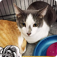 Adopt A Pet :: Greyson - Mansfield, TX