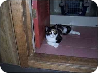Calico Cat for adoption in North Plainfield, New Jersey - Josey