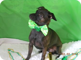 Miniature Pinscher/Chihuahua Mix Dog for adoption in Myersville, Maryland - CoCo