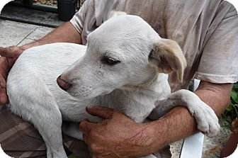 Whippet Mix Puppy for adoption in St Petersburg, Florida - DRIFTWOOD