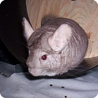 Adopt A Pet :: Roo Roo - Avondale, LA
