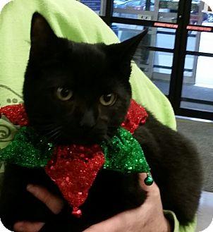 Domestic Shorthair Cat for adoption in Covington, Kentucky - Jilly