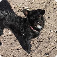 Adopt A Pet :: Ivy - Henderson, NV
