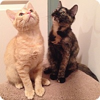 Adopt A Pet :: Brie - Horsham, PA