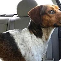 Adopt A Pet :: Cody - Houston, TX