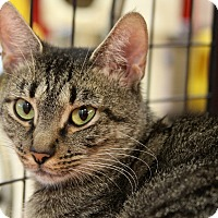 Domestic Shorthair Cat for adoption in Sarasota, Florida - China