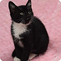 Adopt A Pet :: Tux - Manhattan, NY