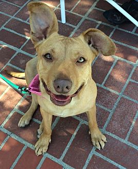 Labrador Retriever/American Pit Bull Terrier Mix Dog for adoption in Los Angeles, California - Tally the Cuddle Bug