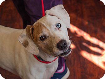 Boxer/Hound (Unknown Type) Mix Dog for adoption in Cincinnati, Ohio - Darcie: Fairfax